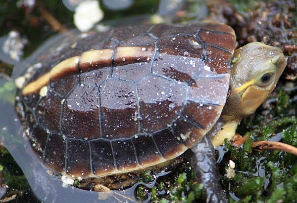 Gelbrandscharnierschildkröte-Cuora flavomarginata