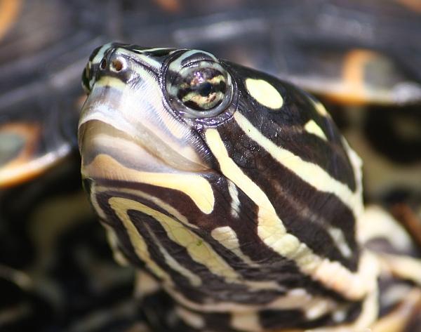 Weibchen der Prachthöckerschildkröte - Graptemys oculifera