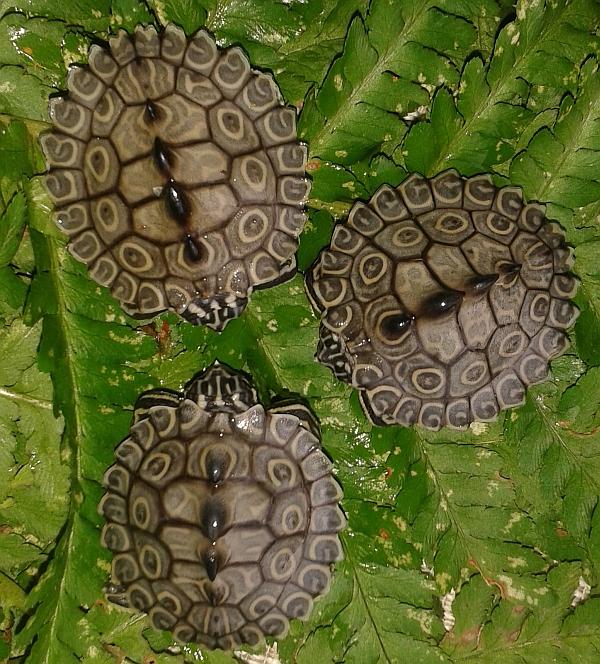 Schlüpflinge der Prachthöckerschildkröte-Graptemys oculifera