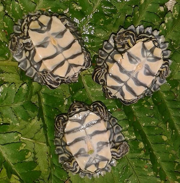 Schlüpflinge  der  Prachthöckerschildkröte - Graptemys oculifera