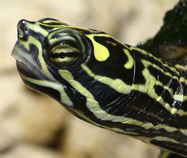 Männchen der Prachthöckerschildkröte-Graptemys oculifera