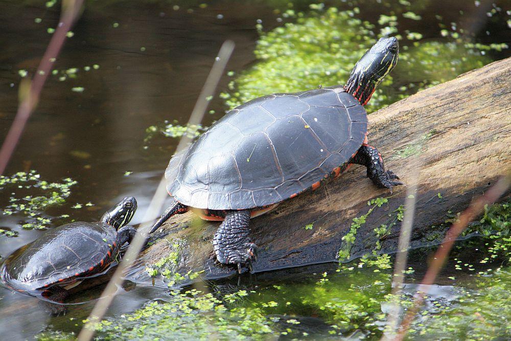 Haltung von Wasserschildkröten im Gartenteich