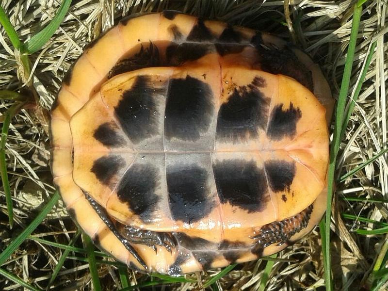 Tropfenschildkröte-Clemmys guttata