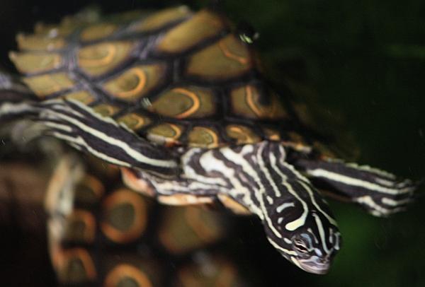 Prachthöckerschildkröte-Graptemys oculifera