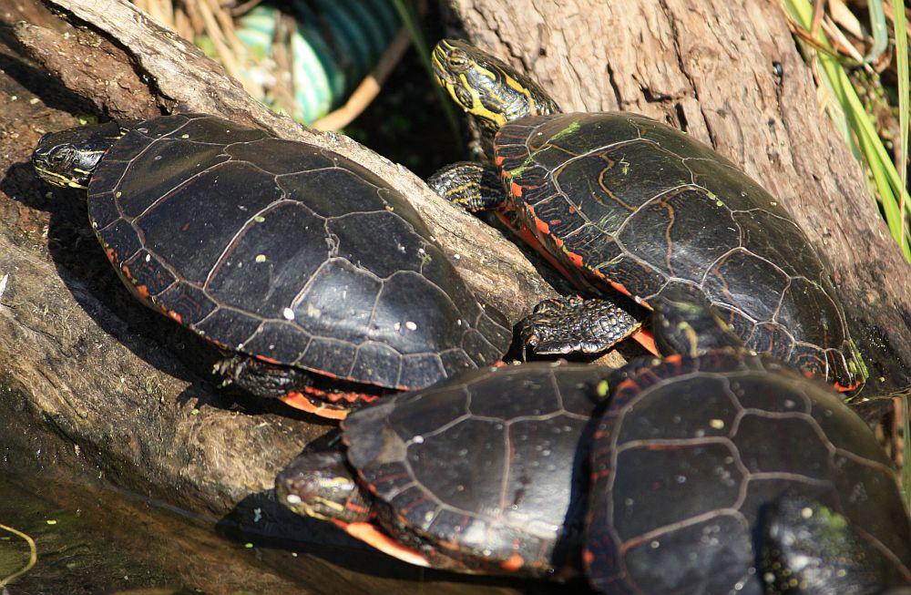 Die Zierschildkröten beim Sonnenbad