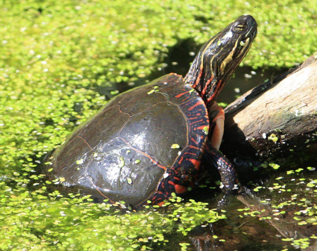Mittelländische Zierschildkröte - Chrysemys picta marginata