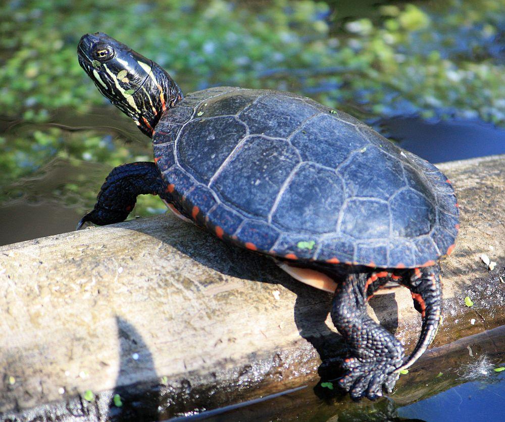 Männchen der Mittelländischen Zierschildkröte - Chrysemys picta marginata