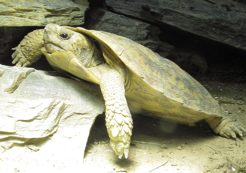 Spaltenschildkröte - Malacochersus tornieri