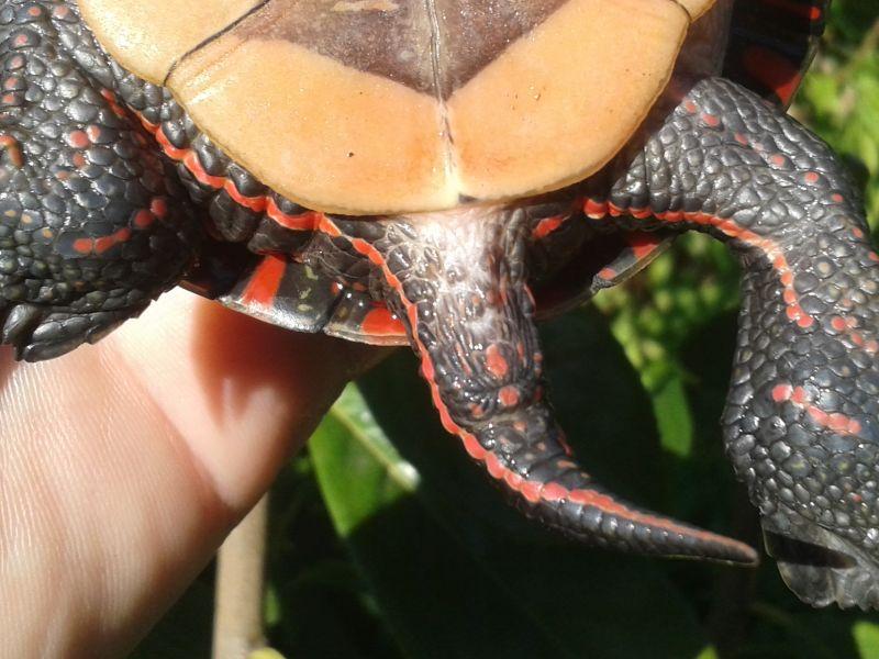 Männchen der Mittelländischen Zierschildkröte - Chrysemys picta marginata - Gut erkennbar auch die dickere Schwanzwurzel und die weit hinter dem Panzerrand liegende Kloake