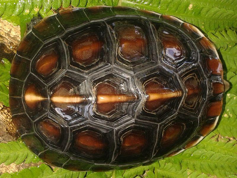 3 jähriges Tier der Gelbrandscharnierschildkröte - Cuora flavomarginata