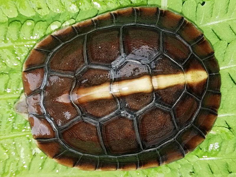 Jungtier der Gelbrandscharnierschildkröte erst wenige Wochen alt - Cuora flavomarginata