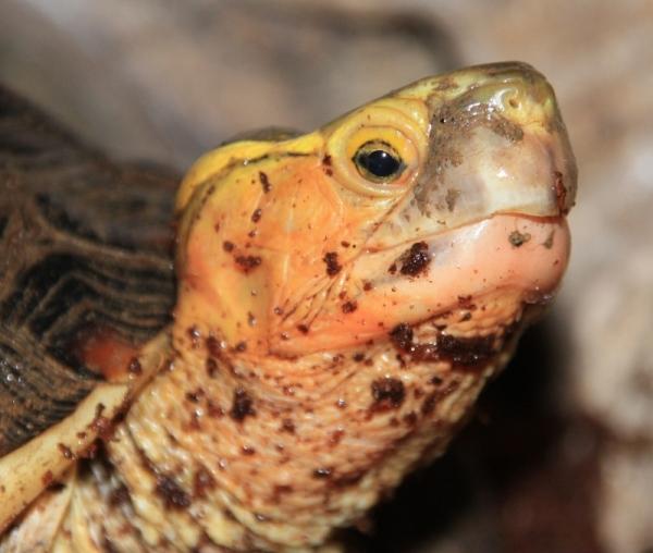 Ausgewachsenes Männchen der Gelbrandscharnierschildkröte- Cuora flavomarginata