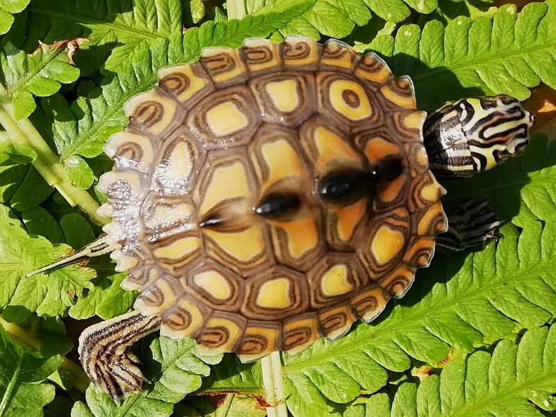 Jungtier der Gelbtupfenhöckerschildkröte - Graptemys flavimaculata
