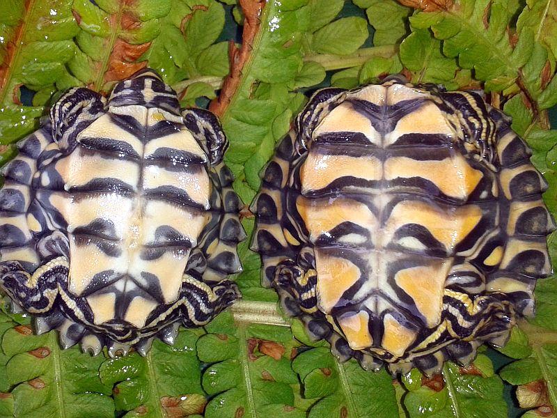Wenige Wochen alte Jungtiere der Prachthöckerschildkröte - Graptemys oculifera