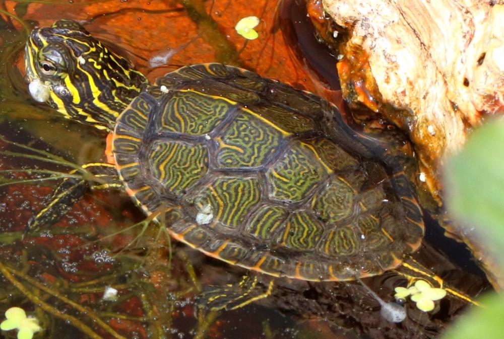 Westliche Zierschildkröte - Chrysemys picta bellii