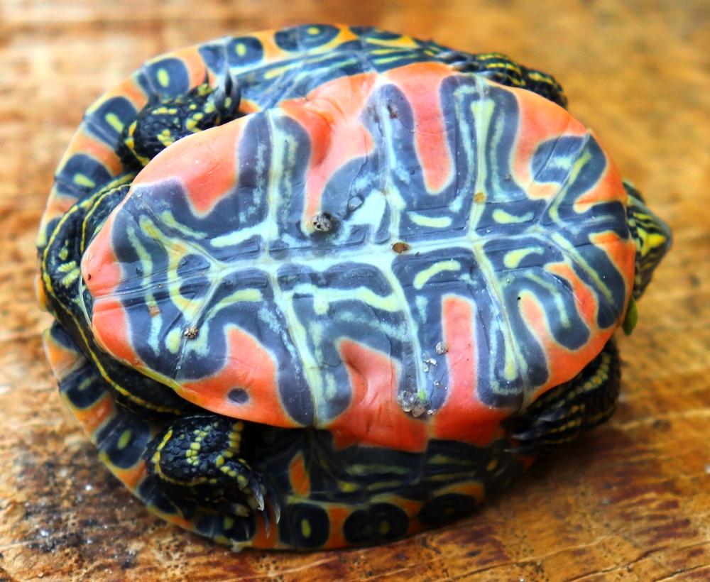 Jungtier der Westlichen Zierschildkröte - Chrysemys picta bellii