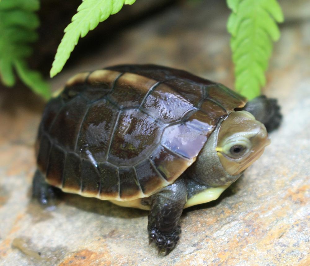 Frisch geschlüpfte Gelbrandscharnierschildkröte - Cuora flavomarginata