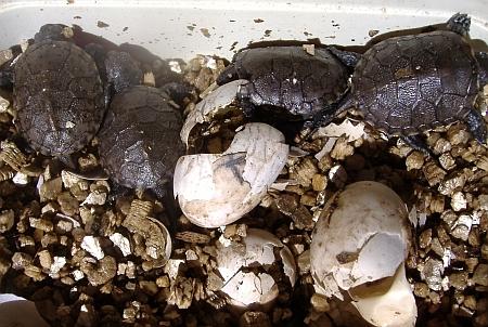 Europäische Sumpfschildkröte - Emys orbicularis