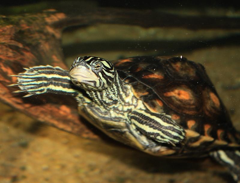 Weibchen der Gelbtupfenhöckerschildkröte - Graptemys flavimaculata