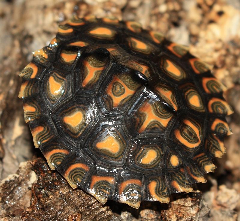 Gelbtupfenhöckerschildkröte - Graptemys flavimaculata - Jungtier ca. 3 Monate alt