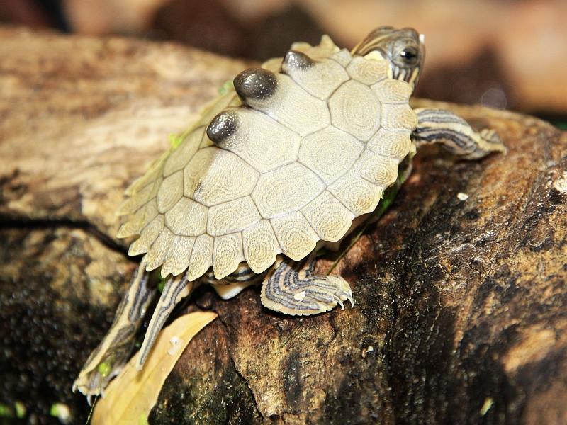 Wenige Tage alte Schwarzknopfhöckerschildkröte - Graptemys nigrinoda
