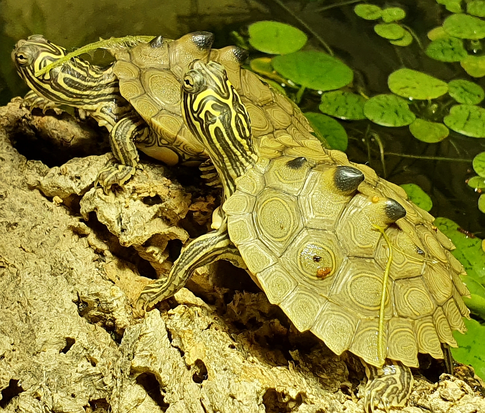 2 Monate alte Jungtiere der Schwarzknopfhöckerschildkröte - Graptemys nigrinoda