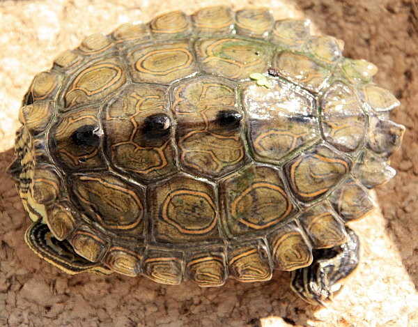 Männchen der Schwarzknopfhöckerschildkröte - Graptemys nigrinoda nigrinoda